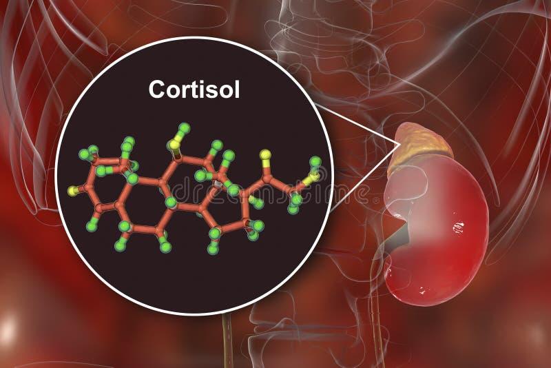 Molecule van cortisol hormoon en bijnier royalty-vrije stock foto's