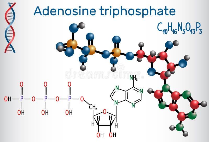 Molekylen för ATP för Adenosinetriphosphaten, är intracellular energi t stock illustrationer