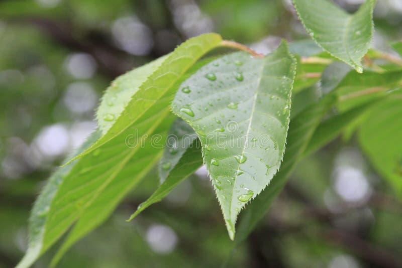 Molhe as folhas imagem de stock