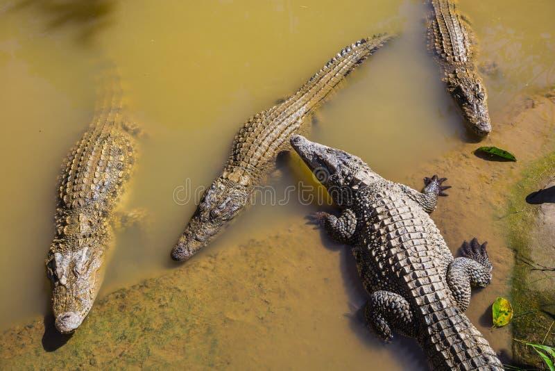 Molhe corpos na exploração agrícola do crocodilo em Dalat imagem de stock