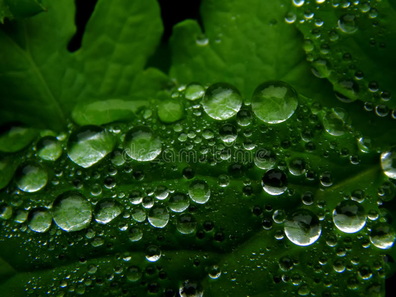 Download Molhe Gotas Na Folha Verde De Uma Planta Imagem de Stock - Imagem de naughty, gotas: 80101391