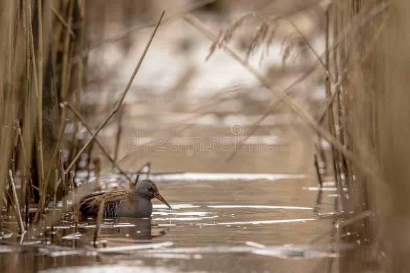 MOLHE o aquaticus de Rallus do TRILHO que procura pelo alimento na água entre o junco comum, Phragmites australásio fotografia de stock royalty free