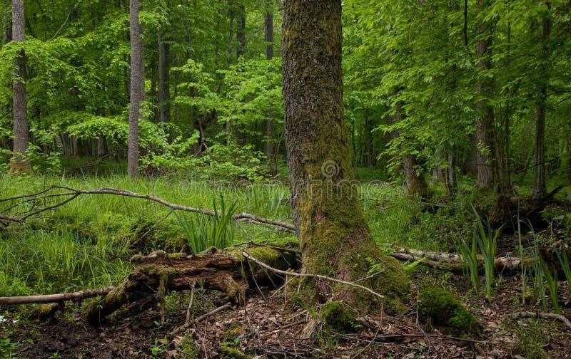 Molhe o carrinho da floresta de Bialowieza com árvore de amieiro imagem de stock