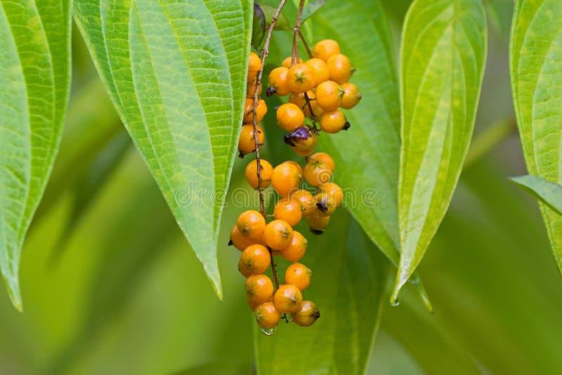 Molhe o fruto de baga alaranjado da baga de pombo dourada da gota de orvalho, Skyflowe imagens de stock