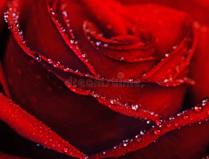 Molhe o tiro cor-de-rosa do close-up foto de stock