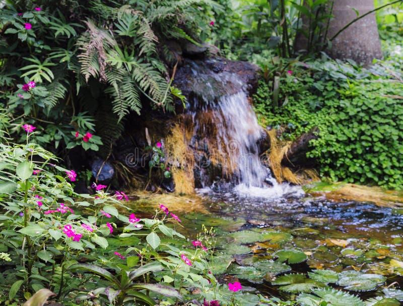 Molhe os lillies, Nymphaeaceae, na floresta tropical brasileira tropical fotos de stock