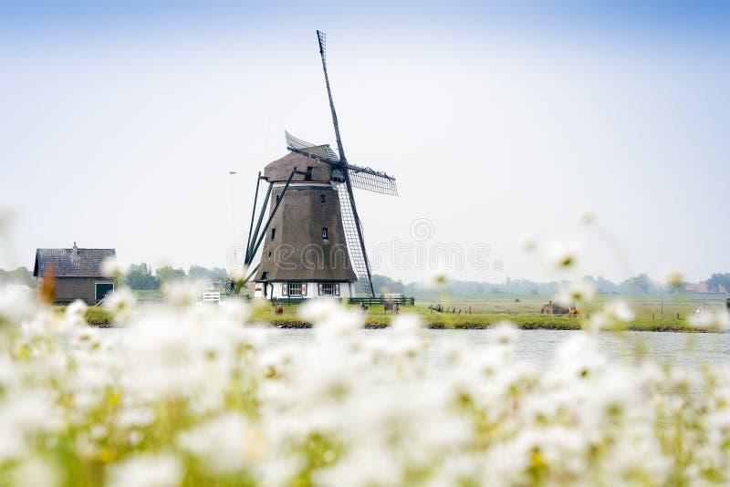 Molino de viento holandés con las flores blancas en frente imagen de archivo
