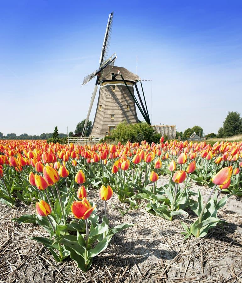 Molino de viento y tulipanes imagen de archivo libre de regalías