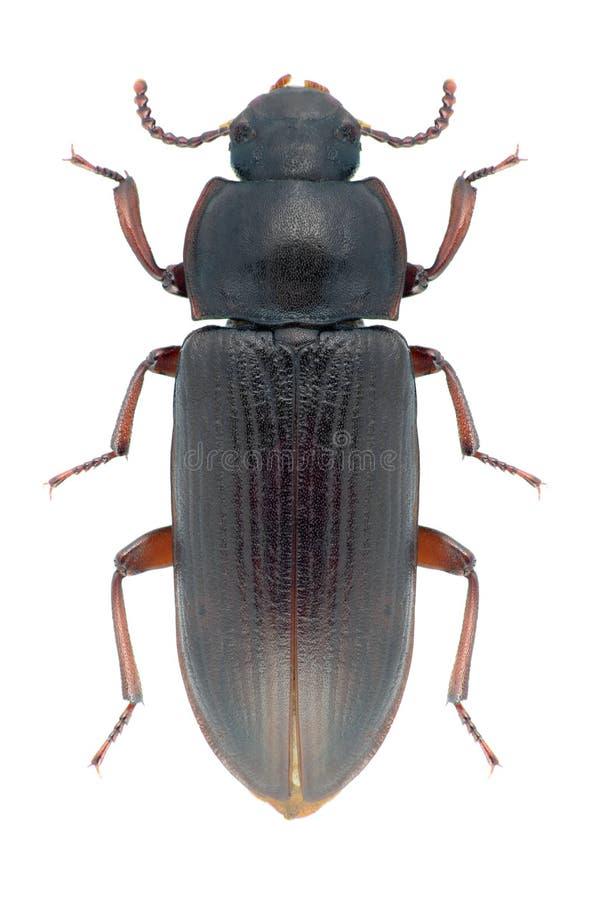 Molitor Tenebrio жука стоковая фотография