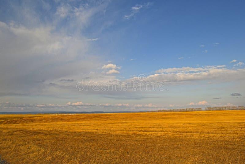 Molla in anticipo del campo giallo fotografia stock