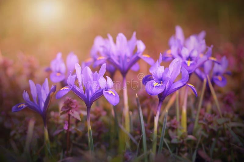 Molla in anticipo della fioritura del fiore dell'iride immagini stock