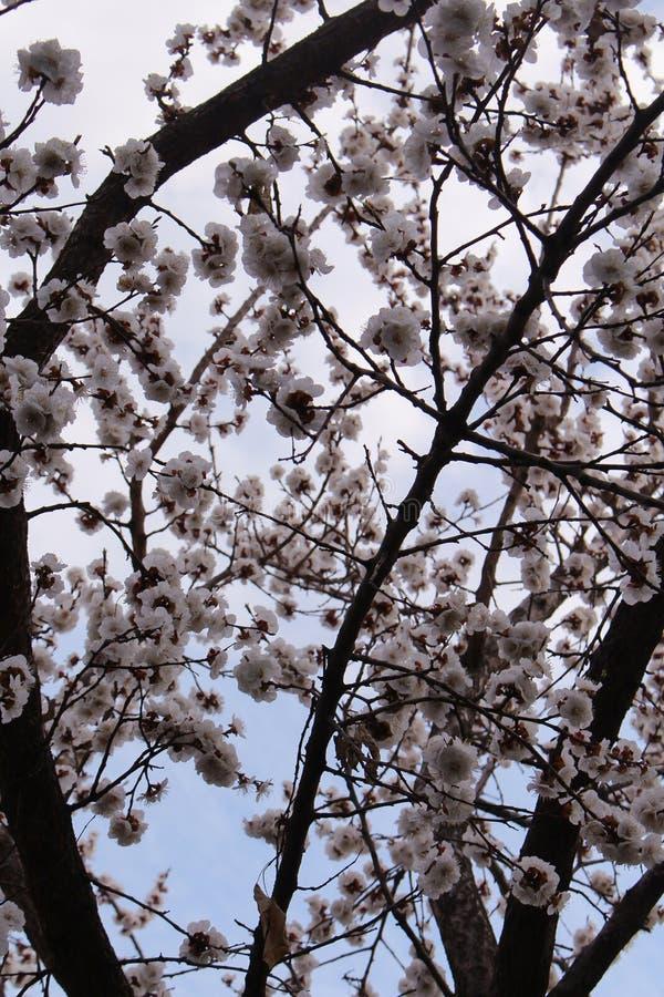 Molla bianca della pianta del bello dell'albero del fiore del flowe parco del giardino fotografie stock