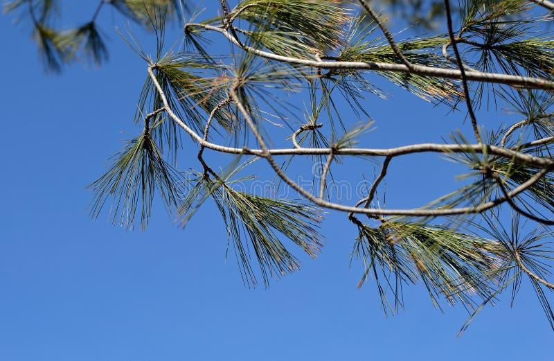 Molla del cielo blu degli aghi del pino dei rami fotografie stock