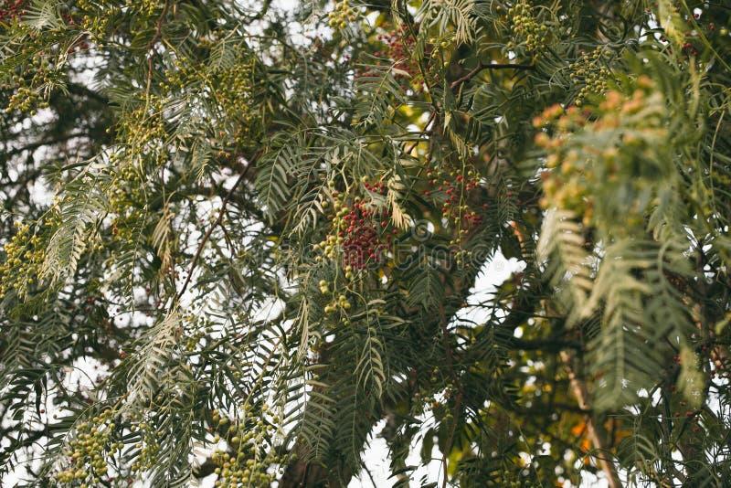 Molle de Schinus Arbre de poivre de la Californie Texture et fond péruviens d'arbre de poivre images libres de droits