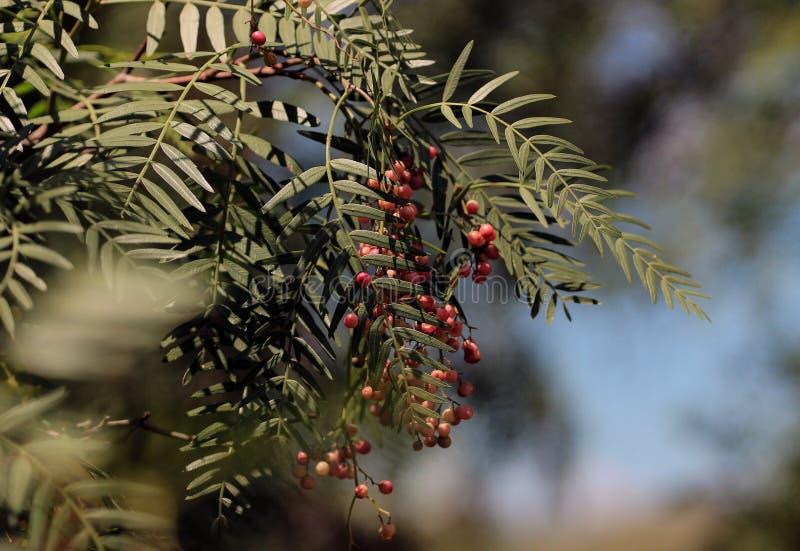 Molle de Schinus d'arbre de poivre de la Californie - une branche avec les feuilles et le fruit photo libre de droits