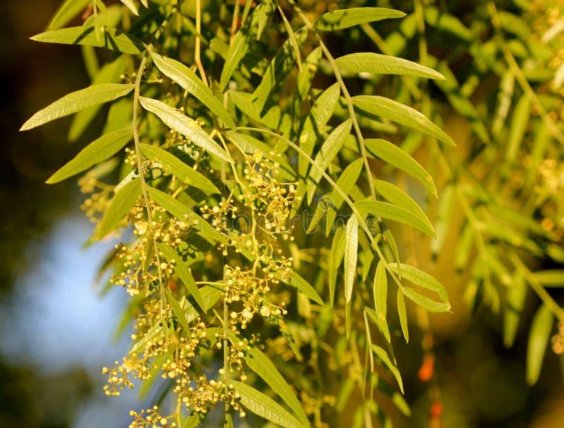 Molle de Schinus, poivre péruvien, arbre de poivre californien photo stock