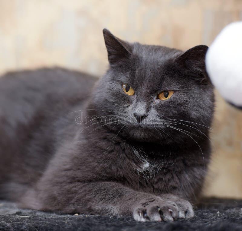 Mollige grijze Britse kat stock afbeeldingen