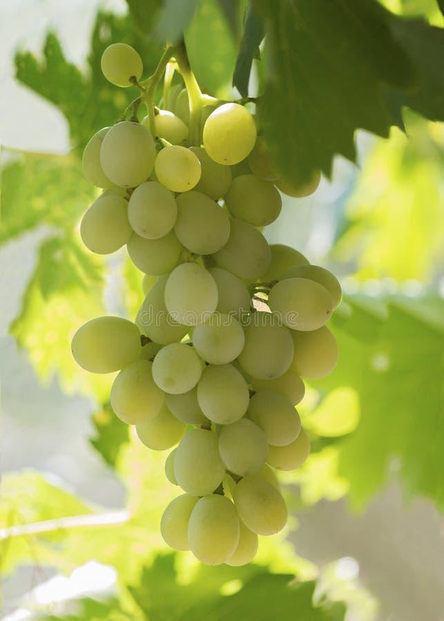 Mollige witte druiven royalty-vrije stock foto's