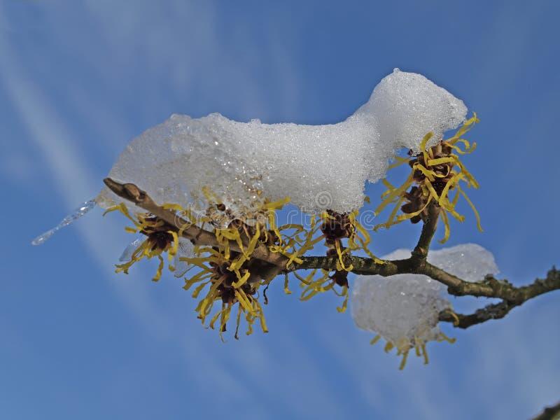 Mollis do Hamamelis - Bruxa-avelã no inverno imagem de stock royalty free