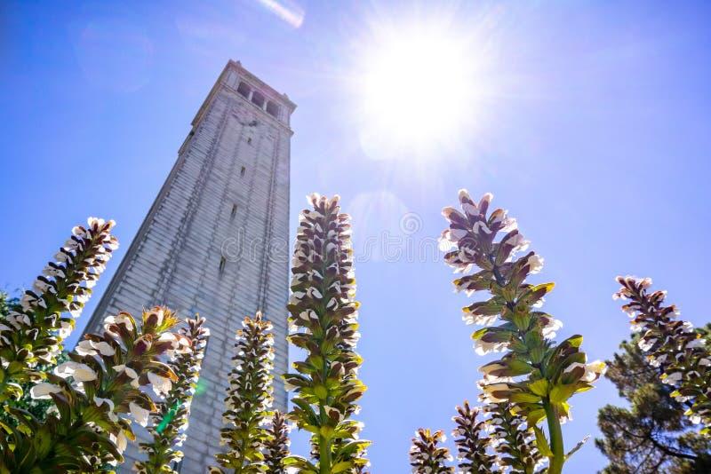 Mollis van de Kulasacanthus van de beer bloeit bloeiend bij de basis van Sather-toren Campanile; heldere zon en blauwe hemelachte royalty-vrije stock afbeeldingen