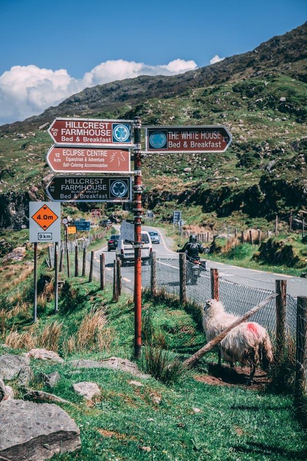 Molls Gap, Irlanda - um carneiro ao lado dos sinais de estrada em Molls Gap, uma passagem na estrada N71 de Kenmare a Killarney n fotos de stock
