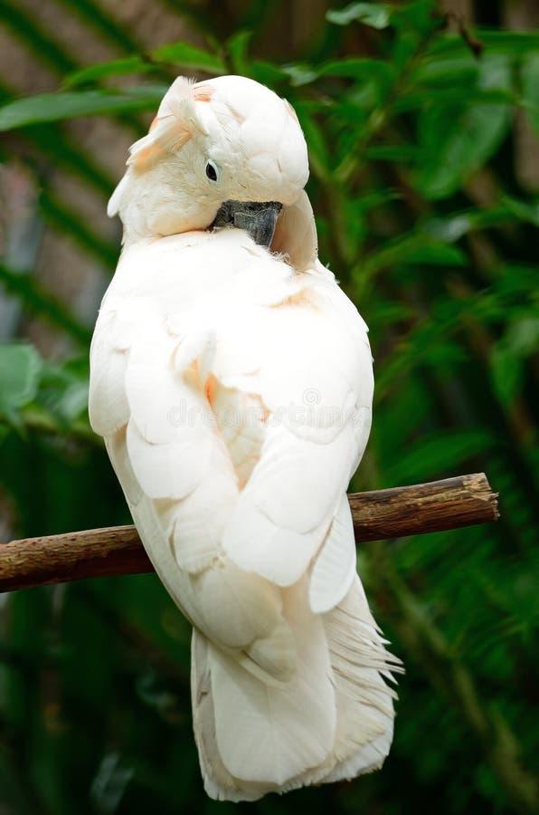 Mollucan kakadu zdjęcia stock