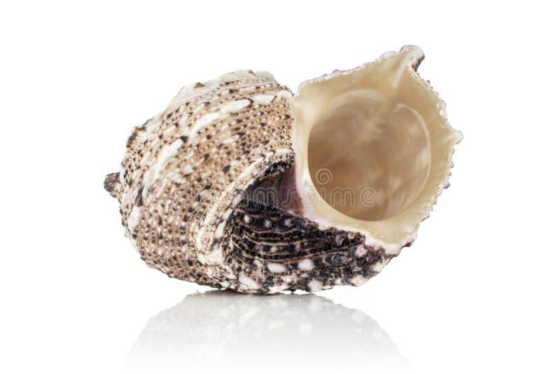 Mollusc sea shell isolated on white stock photos