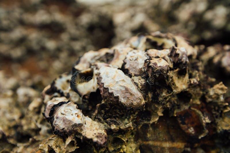 Molluschi delle coperture del fondo Coperture di struttura dei crostacei Crostacei del mare sulla spiaggia fotografie stock