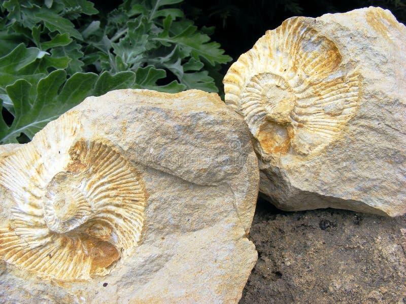 Molluschi fossili fotografia stock libera da diritti