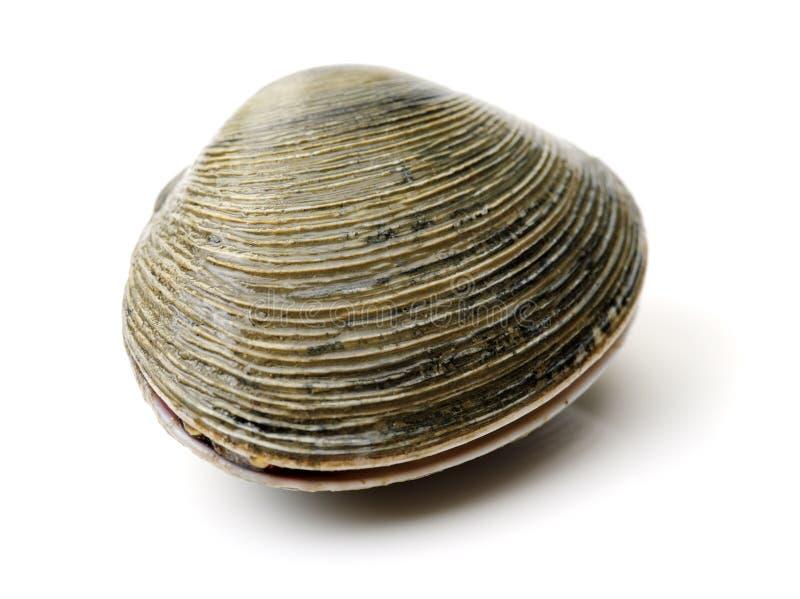 Molluschi freschi fotografia stock