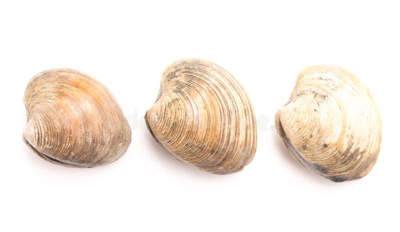 Molluschi su una priorit? bassa bianca immagini stock libere da diritti