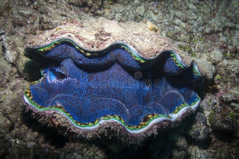 Mollusco gigante fotografia stock