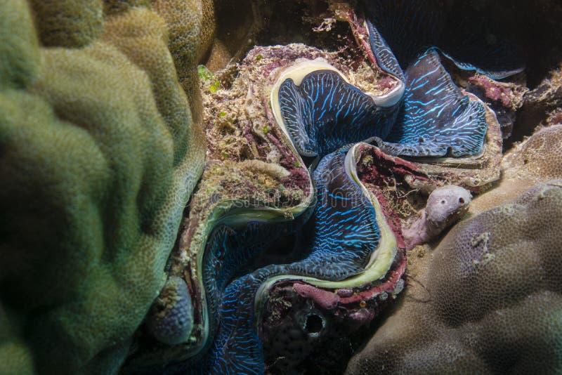Mollusco gigante fotografie stock libere da diritti
