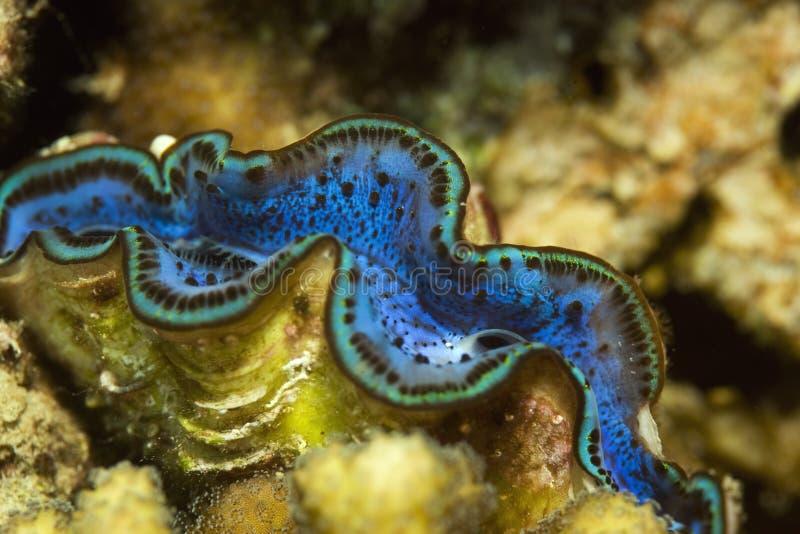 Mollusco gigante comune fotografie stock libere da diritti