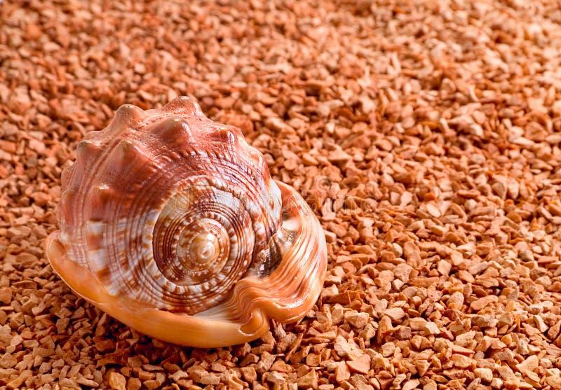 Mollusk brown shell. Closeup on small rock stock photo