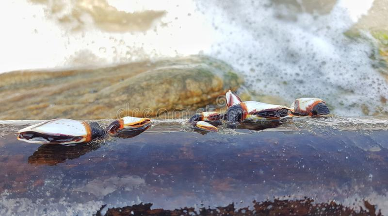 Mollusks in a bamboo stick. Mollusks on bamboo stick in the sea shore stock images