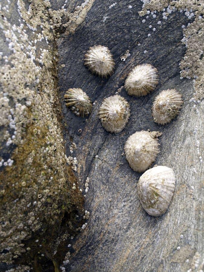Mollusks on rock stock photos