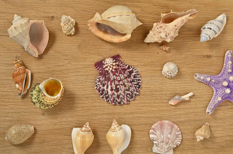 Mollusks on wooden table close up. Scallop shell from the black sea royalty free stock image