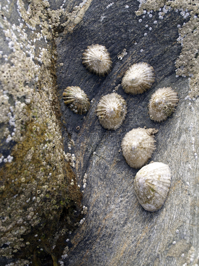 Mollusques sur la roche photos stock