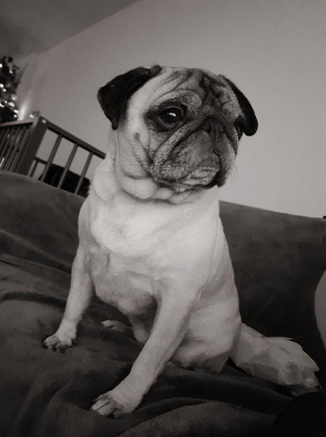 Molly der Pug lizenzfreie stockfotos
