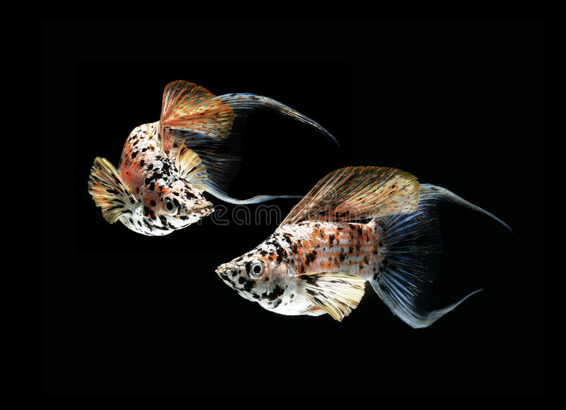 Download Molly Fish Crescent Tailed On Black Back Stock Image - Image: 26369991