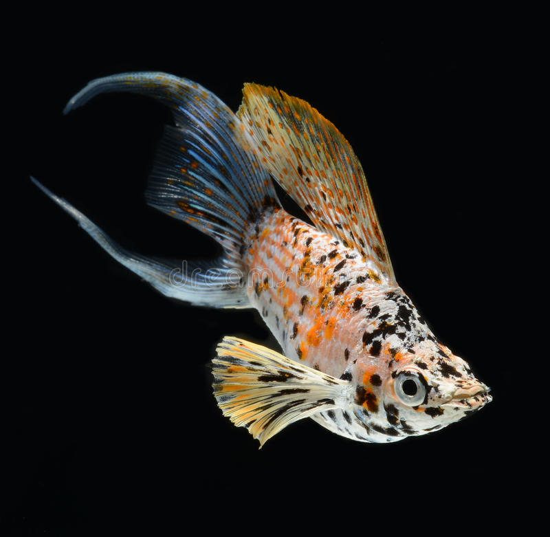 Download Molly Fish Crescent Tailed Isolated On Black Backg Stock Photo - Image: 25331320