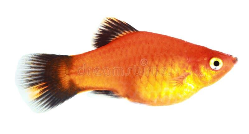 Molly Fish Stock Photo