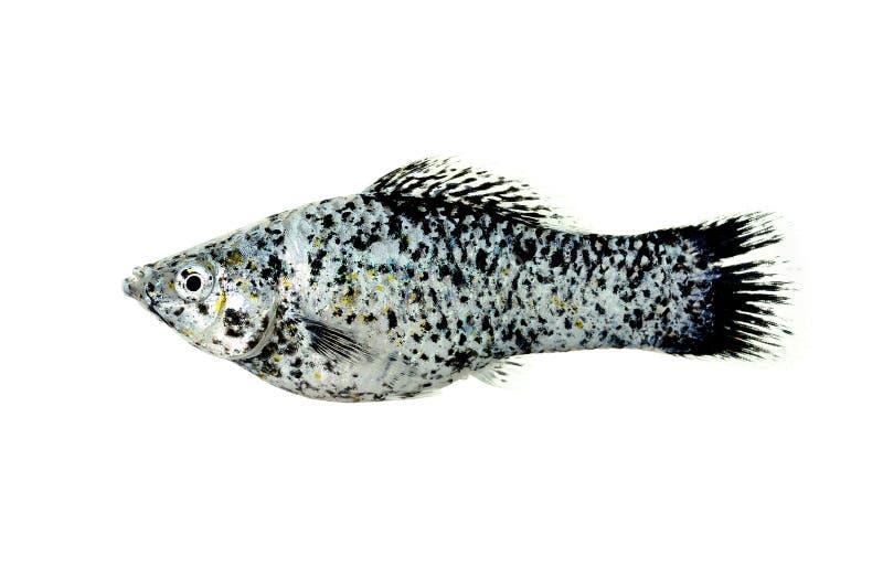 Mollyvissen op de witte achtergrond worden geïsoleerd die stock afbeelding