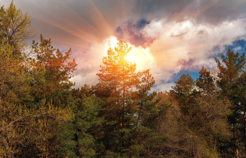 Moln över en pinjeskoghöstskog på solnedgången arkivfoton