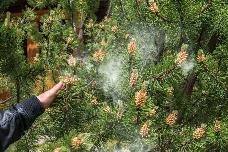 Moln av pollen från ett sörjaträd royaltyfria bilder