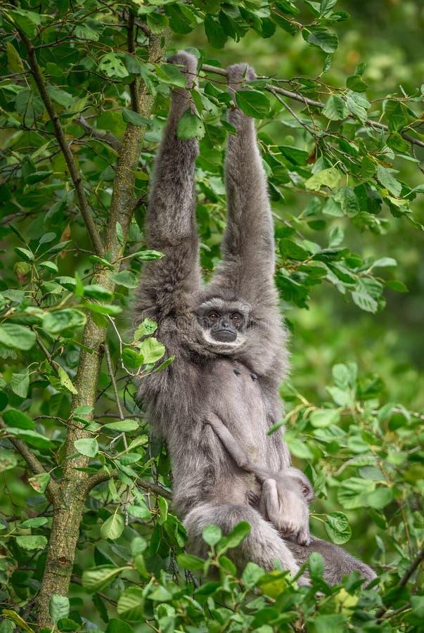 Moloch argenteo del Hylobates del gibbone con un neonato immagine stock