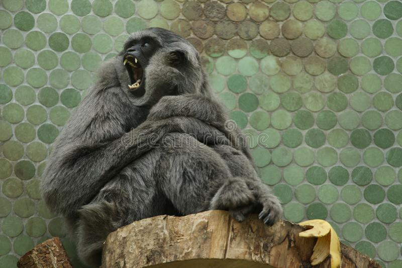 Moloch argenteo del Hylobates del gibbone fotografie stock