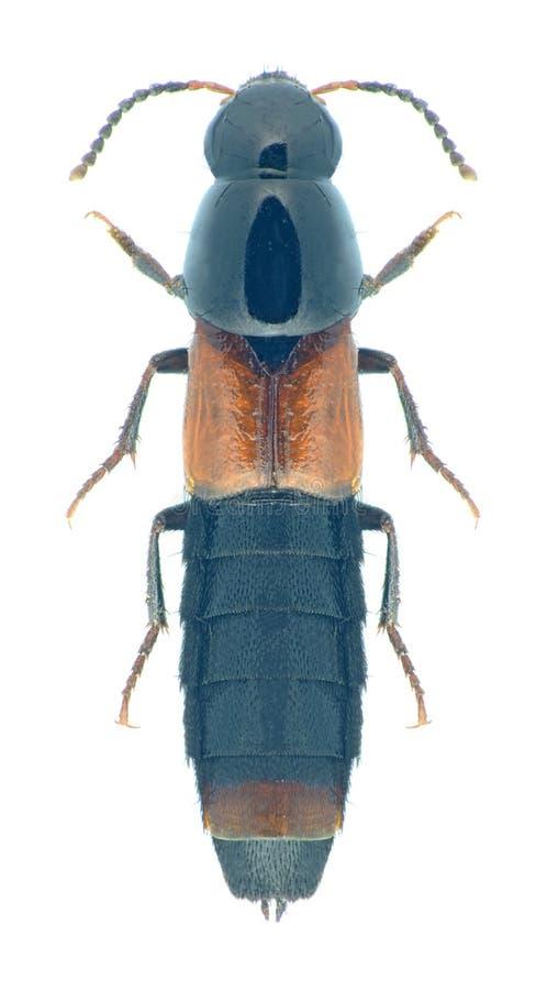 Molochinus de Quedius de scarabée images libres de droits