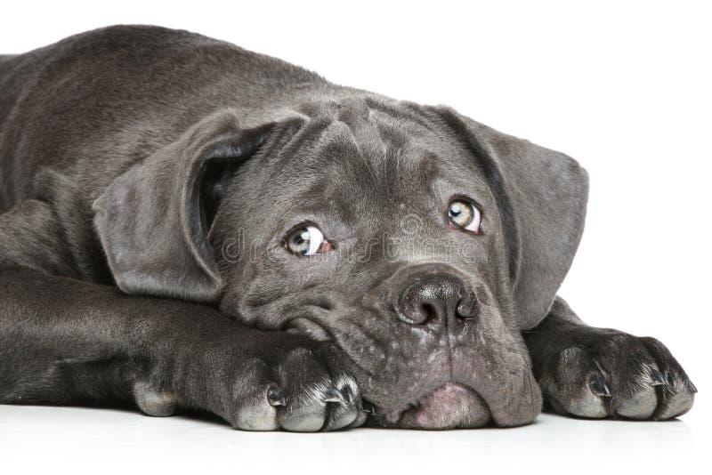 Molosso puppy lying on a white